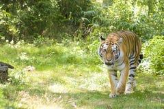 Tigre de Bengal Foto de Stock