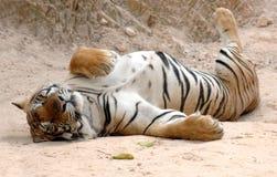 Tigre de bengal adulto masculino que dorme, gato de Tailândia, Ásia Fotos de Stock Royalty Free
