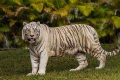Tigre de bengal branco Fotografia de Stock