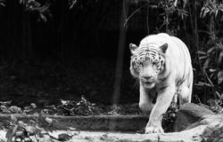 Tigre de Bengal branco Fotos de Stock Royalty Free