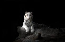 Tigre de Bengal branco Imagem de Stock