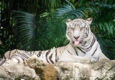 Tigre de Bengal branco Imagem de Stock Royalty Free