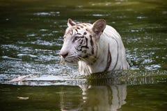 Tigre de Bengal branco Foto de Stock Royalty Free