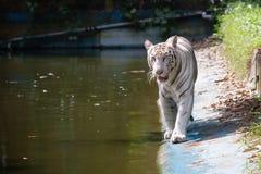Tigre de Bengal branco Fotos de Stock