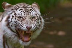 Tigre de Bengal irritado Imagens de Stock Royalty Free