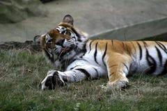 Tigre de Bengal (Panthera tigris tigris) Fotos de Stock Royalty Free