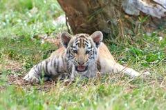Tigre de Bengal (Panthera tigris tigris) Imagem de Stock Royalty Free
