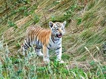 Tigre de Bengal (Panthera tigris tigris) Imagens de Stock