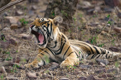 Tigre de Bengal que descansa no parque nacional de Ranthambore na Índia Fotografia de Stock Royalty Free