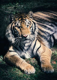 Tigre de Bengal que encontra-se na máscara fotografia de stock royalty free