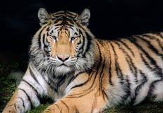 Tigre de Bengal que encontra-se na máscara imagem de stock