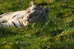 Tigre de bengal real Imagens de Stock