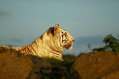 Tigre de Bengal real Imagem de Stock Royalty Free