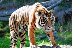 Tigre de Bengal real Fotografia de Stock