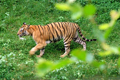 Tigre de Bengal real. Imagem de Stock