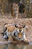 Tigre de bengal real Imagem de Stock
