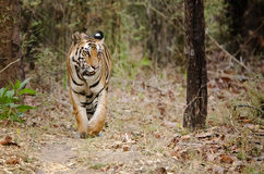 Tigre de bengal real Imagens de Stock Royalty Free