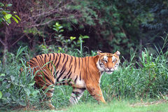 Tigre de bengal real, india Foto de Stock Royalty Free