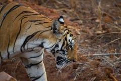 Tigre de Bengal real que anda atrav?s de uma vala em Tadoba Tiger Reserve, ?ndia imagens de stock