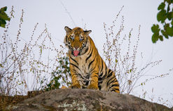 Tigre de Bengal selvagem que está em uma rocha grande na selva India PARQUE NACIONAL DE BANDHAVGARH Madhya Pradesh Imagens de Stock Royalty Free