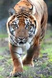 Tigre de Bengala Imagen de archivo libre de regalías