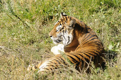 Tigre de Bengala Foto de archivo