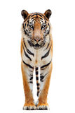 Tigre de Bengala aislado en blanco foto de archivo