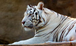 Tigre de Bengala blanco foto de archivo