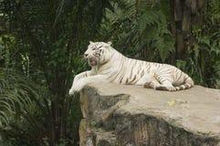 Tigre de Bengala blanco Imagen de archivo libre de regalías