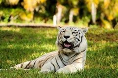 Tigre de Bengala blanco Foto de archivo libre de regalías