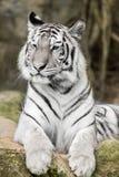 Tigre de Bengala blanco fotografía de archivo