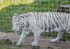 Tigre de Bengala blanco Imagen de archivo
