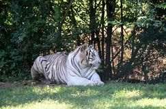 Tigre de Bengala blanco Fotos de archivo libres de regalías