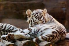 Tigre de Bengala blanco joven foto de archivo
