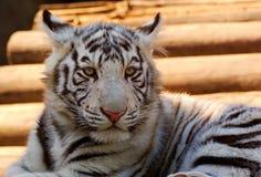 Tigre de Bengala blanco joven fotografía de archivo libre de regalías