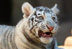 Tigre de Bengala blanco joven foto de archivo libre de regalías
