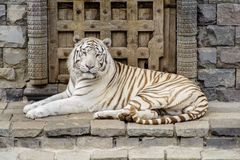 Tigre de Bengala blanco que mira la cámara imagenes de archivo