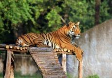 Tigre de Bengala de reclinación Foto de archivo