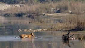 Tigre de Bengala del indio en Népal Fotografía de archivo