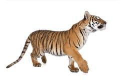 Tigre de Bengala delante de un fondo blanco Imagen de archivo libre de regalías