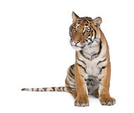 Tigre de Bengala delante de un fondo blanco Fotografía de archivo