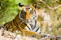 Tigre de Bengala en el parque de Bandhavgargh, la India Foto de archivo