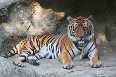 Tigre de Bengala en el parque zoológico de Dusit en Bangkok , Tailandia imagenes de archivo