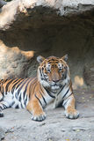 Tigre de Bengala en el parque zoológico de Dusit en Bangkok , Tailandia Imágenes de archivo libres de regalías