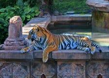 Tigre de Bengala en el reino animal Fotos de archivo libres de regalías