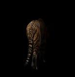 Tigre de Bengala en la oscuridad Imágenes de archivo libres de regalías