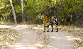 Tigre de Bengala en salvaje Imagen de archivo