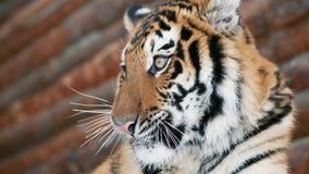 Tigre de Bengala fabuloso que se lame la pata almacen de metraje de vídeo