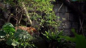 Tigre de Bengala que camina en bosque entre los árboles Panthera asiático el Tigris el Tigris almacen de metraje de vídeo