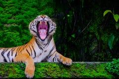 Tigre de Bengala que descansa cerca con el musgo verde por dentro de la selva imagen de archivo
